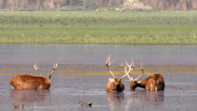 a group of sambar deer foraging and feeding on algae - natural parkland stock videos & royalty-free footage