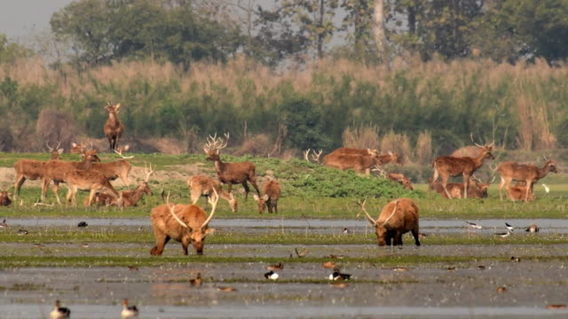 a group of sambar deer foraging and feeding on algae - tourist stock videos & royalty-free footage