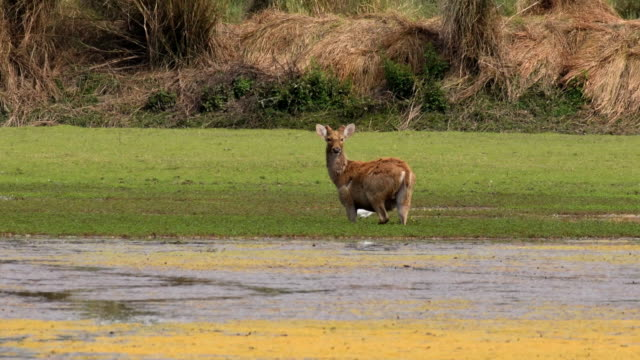 a group of sambar deer foraging and feeding on algae - tourism stock videos & royalty-free footage