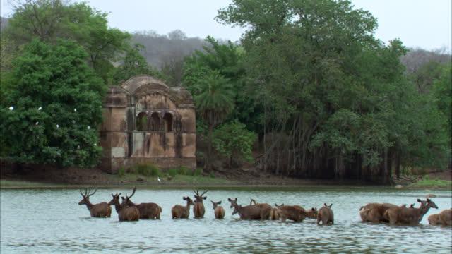 vídeos de stock e filmes b-roll de group of sambar deer standing in water bed. background ranthambore fort near the water edge - water's edge