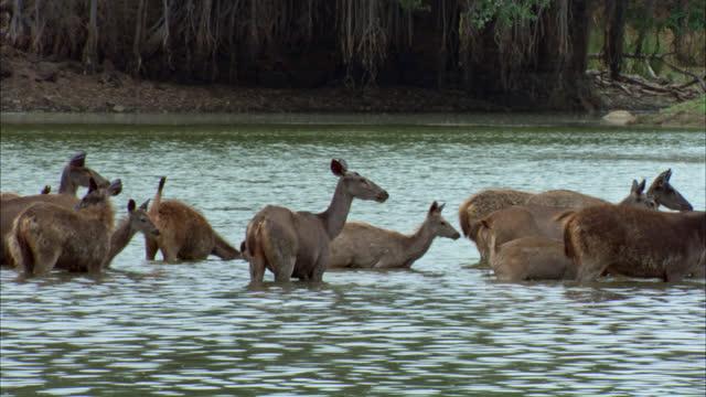 vídeos de stock e filmes b-roll de group of sambar deer standing in water bed, looking around. background banyan tree near the water edge - water's edge