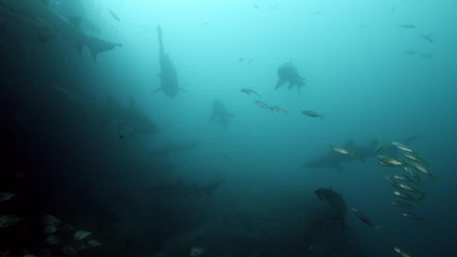 group of sand tiger shark / grey nurse shark - sand tiger shark stock videos and b-roll footage