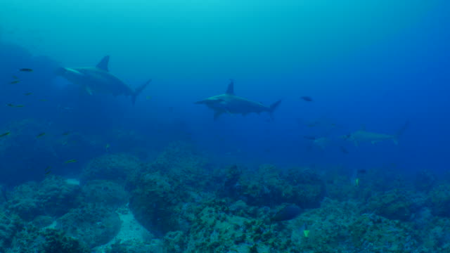 Group of Scalloped Hammerhead shark colony at deep sea reef