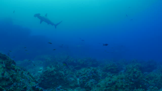 Group of Scalloped Hammerhead shark cruising at deep sea reef