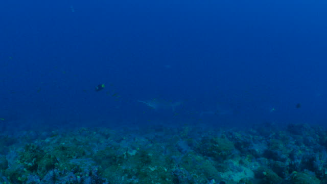 Group of Scalloped Hammerhead sharks swimming at undersea reef