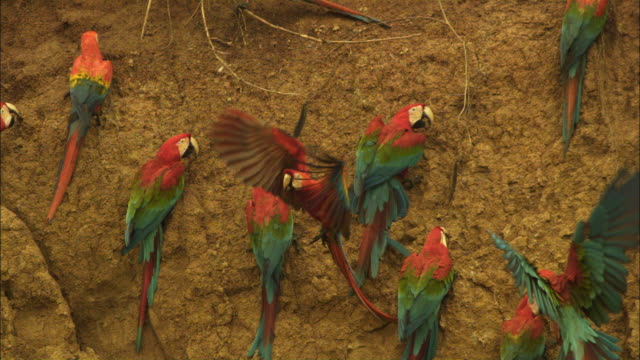 SLOMO group of Scarlet macaws land and take off from clay lick