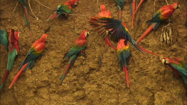 SLOMO group of Scarlet macaws landing and taking off from clay lick