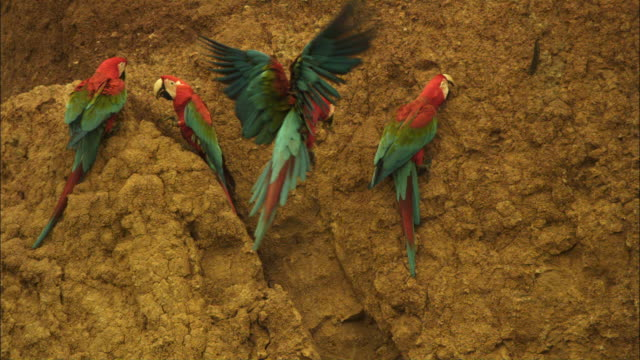 slomo group of scarlet macaws with 2 landing and squabbling on clay lick - vier tiere stock-videos und b-roll-filmmaterial