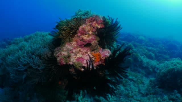 Group of sea lily, coral reef, undersea pinnacle