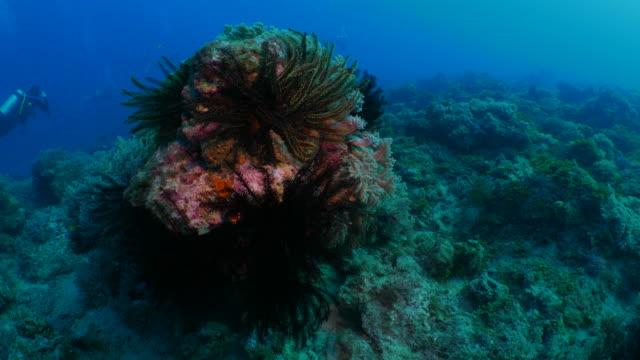 Group of sea lily on undersea pinnacle