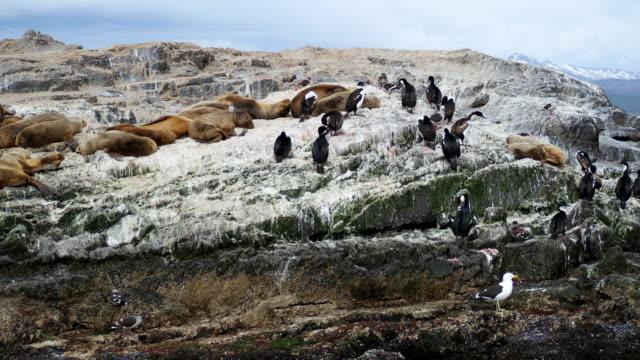 vídeos de stock e filmes b-roll de group of sea lions having a nap on a rock near ushuaia together with some cormorants - ave marinha