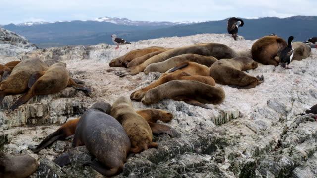 vídeos de stock e filmes b-roll de group of sea lions having a nap on a rock near ushuaia - leão marinho