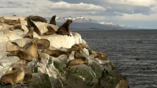 Group of sea lions over a rock at the Beagle Channel