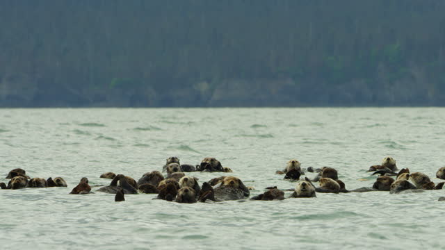 cu group of sea otters floating in sea zo to reveal snowy landscape in background - floating on water stock videos & royalty-free footage