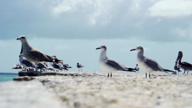 group of seagulls standing on pier at a caribbean island beach - sea bird stock videos & royalty-free footage