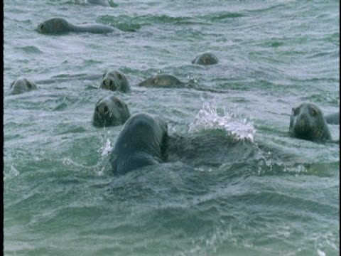 a group of seals bobs in the waters of the atlantic ocean. - grey seal stock videos and b-roll footage
