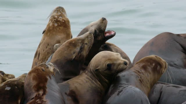 vidéos et rushes de cu group of seals bunched up together, moss landing, california - lion de mer