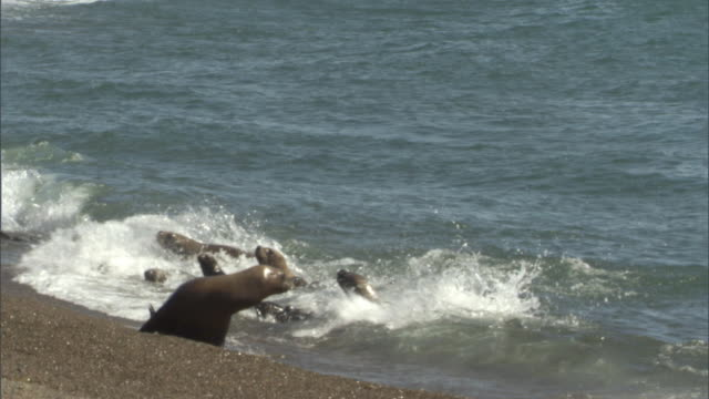 ms pan group of seals escaping orca attack,  orca swimming near surf / puerto madryn, chubut, argentina - seal pup stock videos & royalty-free footage