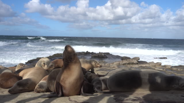 Group of seals in La Jolla Beach