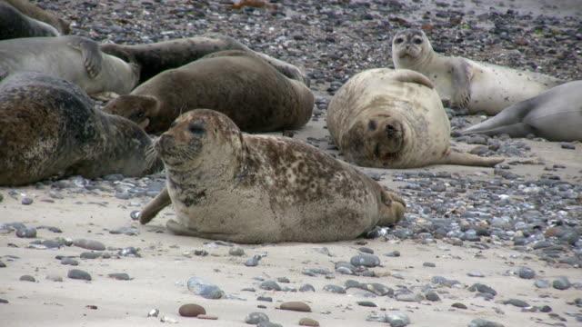 gruppo di guarnizioni sdraiarsi sulla spiaggia - foca video stock e b–roll