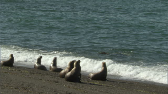 ms pan group of seals stand at water's edge and look out onto ocean / puerto madryn, chubut, argentina - cetacea stock videos & royalty-free footage