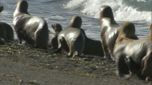ms pan zi group of seals waddling on beach / puerto madryn, chubut, argentina - waddling stock videos and b-roll footage