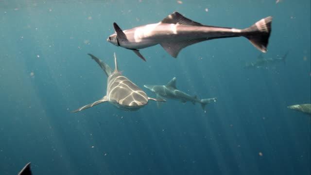 Group of Sharks, Dusky and Sandbar