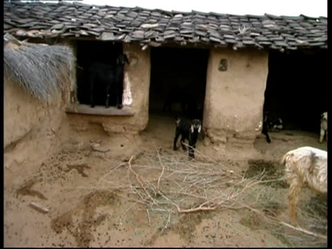 ms group of sheep and goats by barn, rajasthan, india - mittelgroße tiergruppe stock-videos und b-roll-filmmaterial