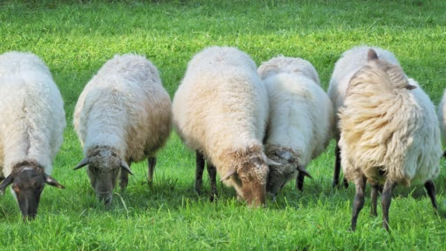 group of sheep grazing at a rural farm, spain - grazing stock videos & royalty-free footage