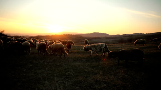 group of sheep s grazing on the mountain in the dusk - flock of sheep stock videos & royalty-free footage