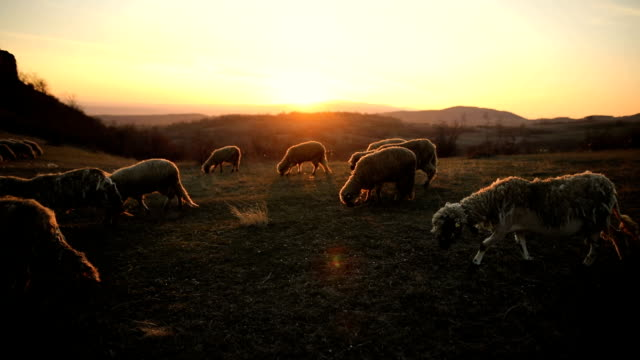 group of sheep s grazing on the mountain in the dusk - lamb animal stock videos and b-roll footage