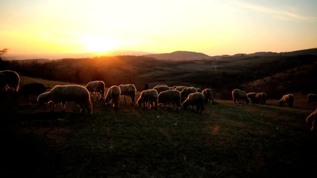 vídeos de stock e filmes b-roll de group of sheep s grazing on the mountain in the dusk - ovelha mamífero ungulado