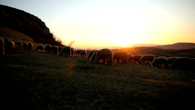 group of sheep s grazing on the mountain in the dusk - large group of animals stock videos & royalty-free footage