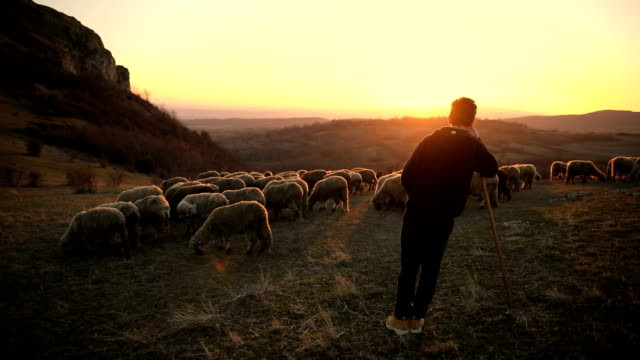 group of sheep s with teenager shepherd, grazing on the mountain in the dusk - herder stock videos & royalty-free footage