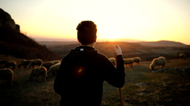 group of sheep s with teenager shepherd, grazing on the mountain in the dusk - sheep stock videos & royalty-free footage
