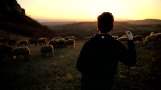group of sheep s with teenager shepherd, grazing on the mountain in the dusk - flock of sheep stock videos & royalty-free footage