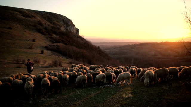 group of sheep s with woman shepherd grazing on the mountain in the dusk - sheep stock videos & royalty-free footage