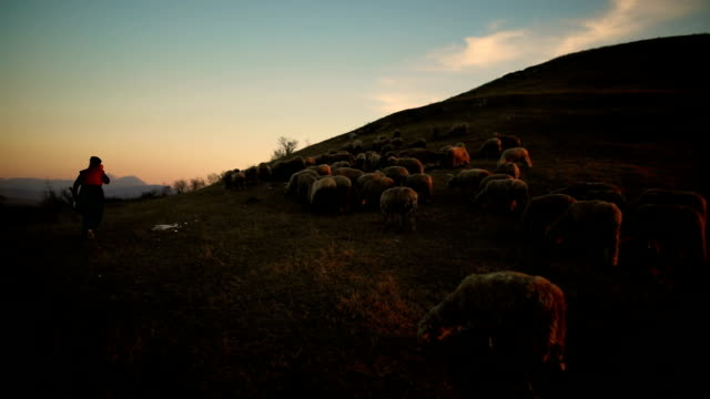 group of sheep s with woman shepherd grazing on the mountain in the dusk - shepherd stock videos & royalty-free footage
