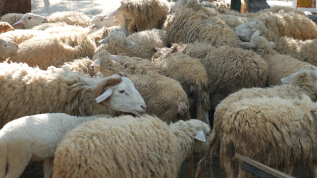 group of sheep - group of animals stock videos and b-roll footage