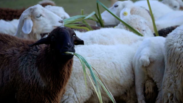 group of sheep - lamb animal stock videos and b-roll footage