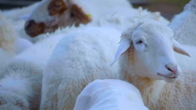 gruppe von sheep - mutterschaf stock-videos und b-roll-filmmaterial