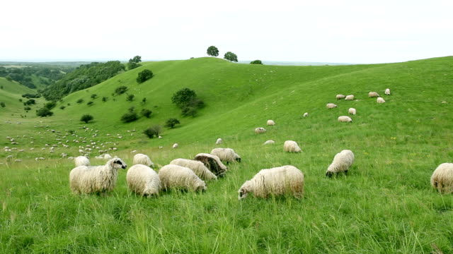 group of sheeps grazing in the field - sheep stock videos & royalty-free footage