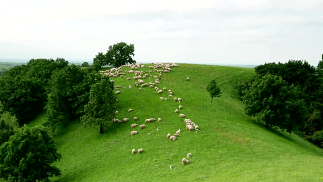 group of sheeps grazing in the field - flock of sheep stock videos and b-roll footage