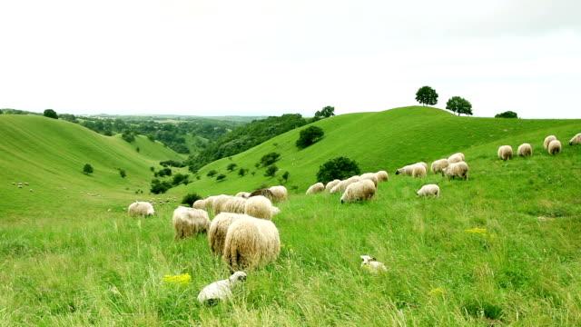 vídeos de stock e filmes b-roll de grupo de sheeps pastar no campo - ovelha mamífero ungulado