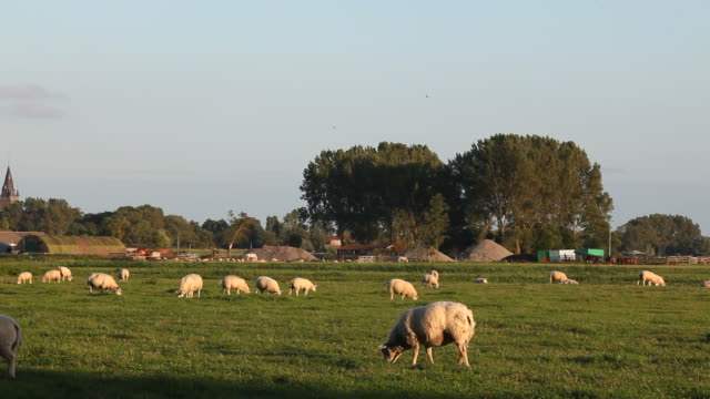 Group Of Sheeps Herding In Meadow Near Amsterdam, The Netherlands