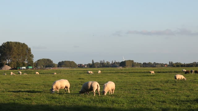 group of sheeps herding in meadow near amsterdam, the netherlands - sheep stock videos & royalty-free footage