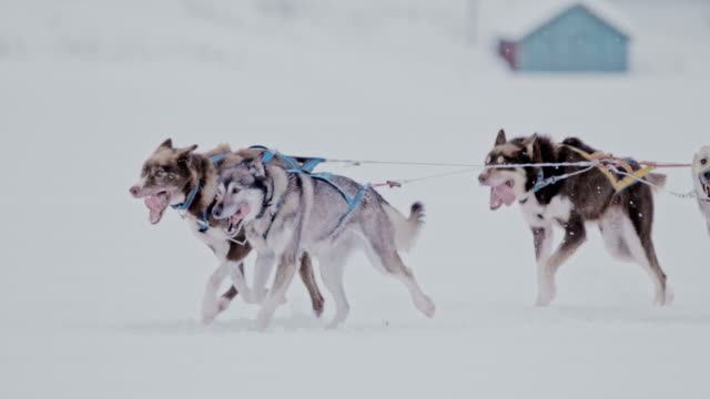slo mo pan group of sled dogs running in the snow - group of animals stock videos & royalty-free footage