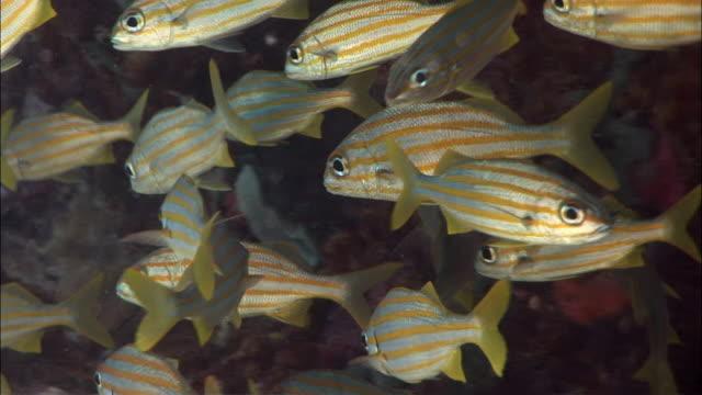 CU, PAN, Group of Small-mouthed grunt fish (Haemulon chryargyreum), Peter Island, British Virgin Islands, United Kingdom