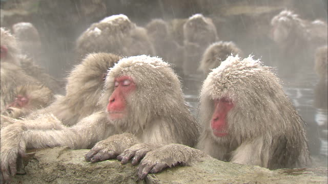 A group of snow monkeys bathe together in Jigokudani Monkey Park in Japan.