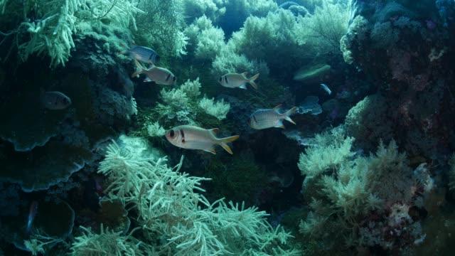 vídeos de stock, filmes e b-roll de grupo de soldierfish (myripristis) submarina - deep sea diving